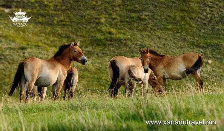 Przewalski horse's first foal of 2019 year New born, April 8
